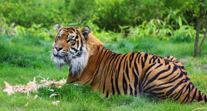 Tigre dello Zoo di Londra