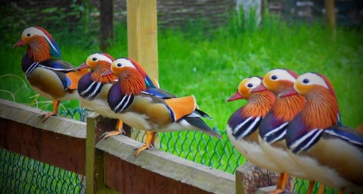Sei anatre mandarine in attesa della colazione al Brent Lodge Animal Centre