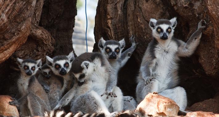 Famigliola di lemuri dell zoo