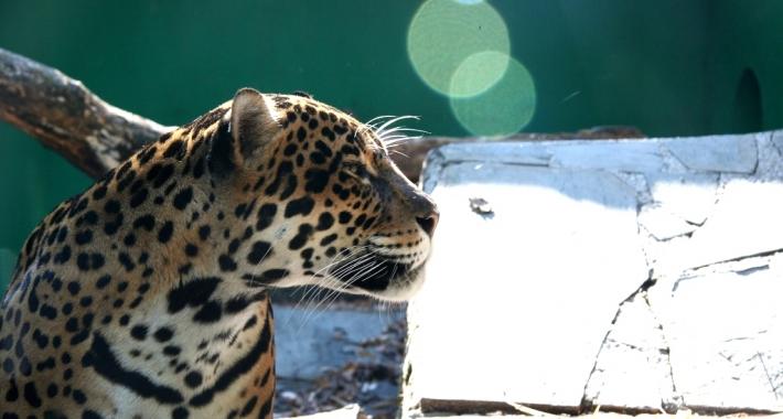 Giaguaro dello Zoo di Pistoia