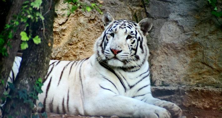 Tigre bianca del Bengala del Parco Faunistico Le Cornelle
