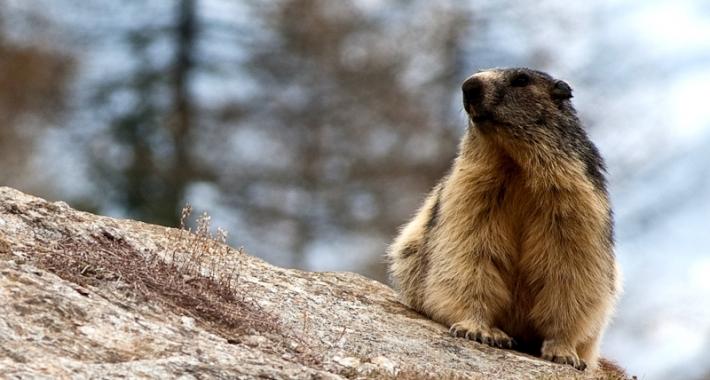 Una marmotta del Parco nazionale del Gran Paradiso