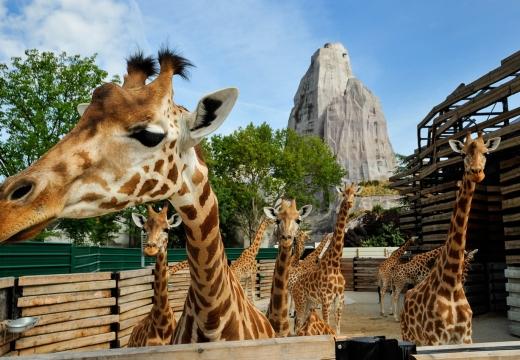 Giraffe dello Zoo di Parigi